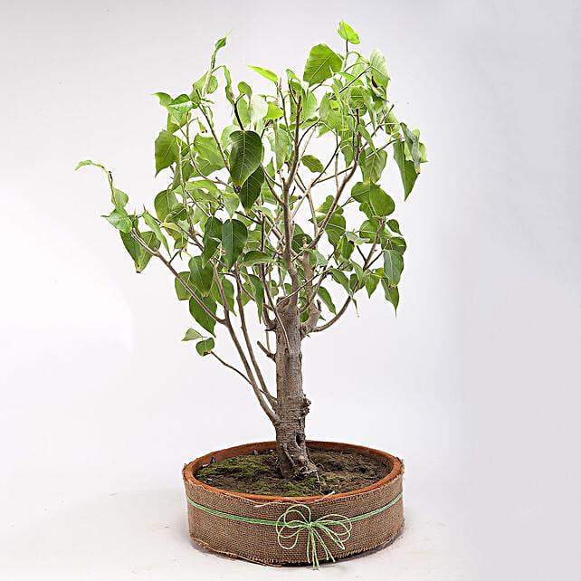 Paras Peepal Bonsai Plant in Terracotta Circular Tray