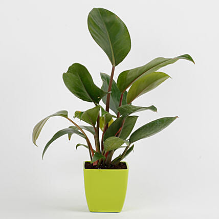 Philodendron Red Plant in Imported Plastic Pot