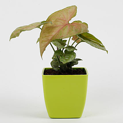 Pink Syngonium Plant in Imported Plastic Pot