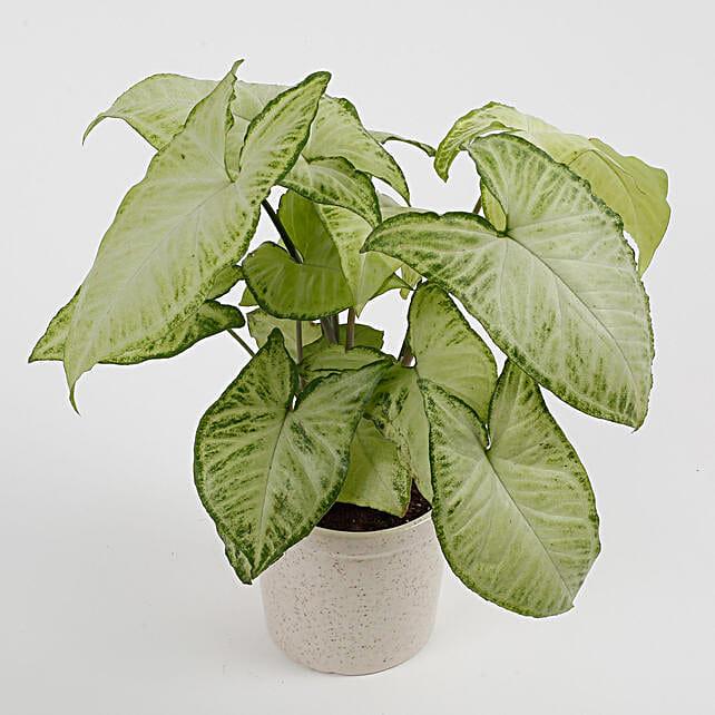 gorgeous syngonium plant