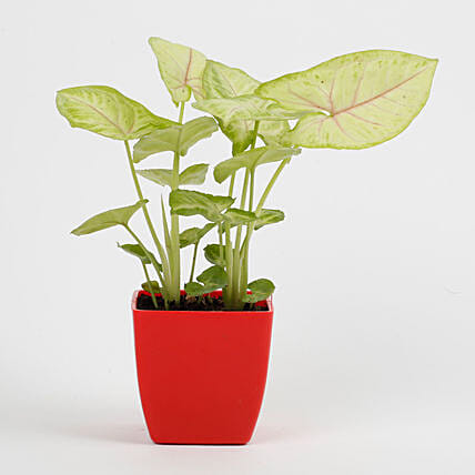 Syngonium Plant in Imported Plastic Red Pot