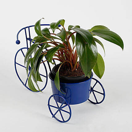 Philodendron Red Plant in Blue Cycle Planter