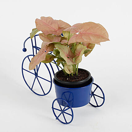 Syngonium Pink Plant in Blue Cycle Planter