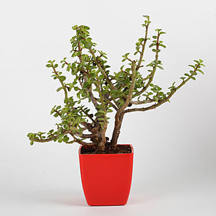Jade Plant in Red Imported Plastic Pot