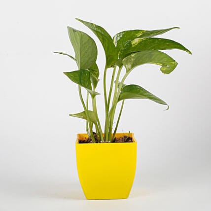 Money Plant in Yellow Imported Plastic Pot