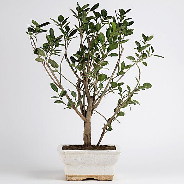 Ficus Panda Plant in White Ceramic Pot