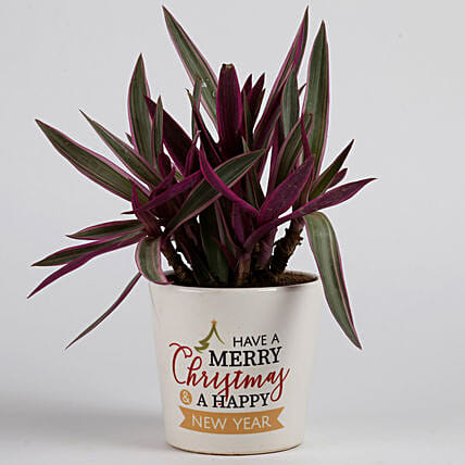 Rhoeo Plant in Ceramic Pot for Christmas