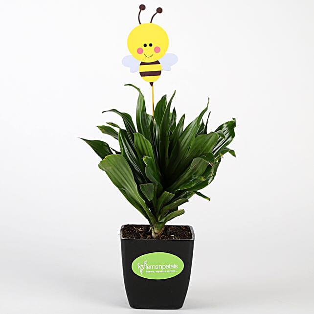Dracaena Compacta Plant In Black Pot With Honey Bee Tag
