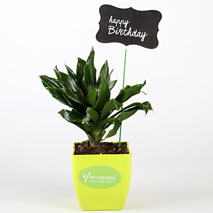 Dracaena Compacta Plant In Green Pot With Birthday Tag