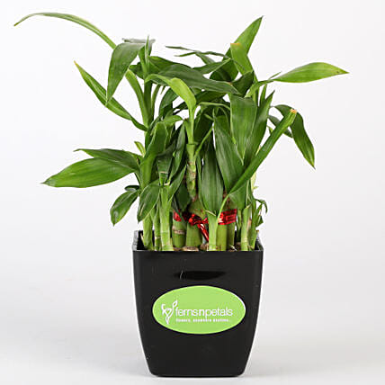 Two Layer Bamboo Plant In Black Pot