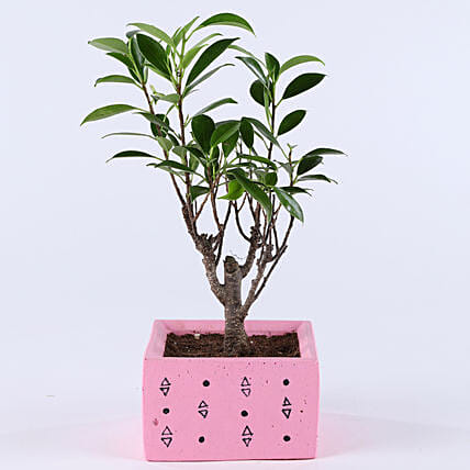 Ficus I Shaped Plant In Pink Concrete Pot