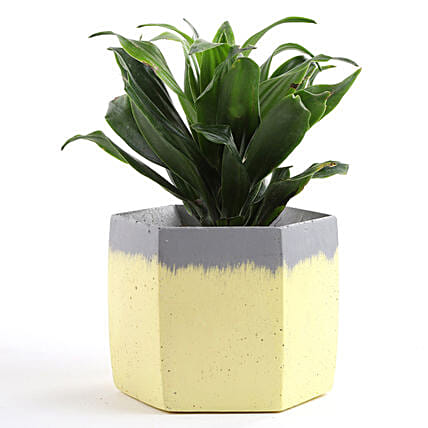 Dracaena Plant In Hexabig Concrete Pot