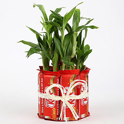 Bamboo Plant with Chocolate Online
