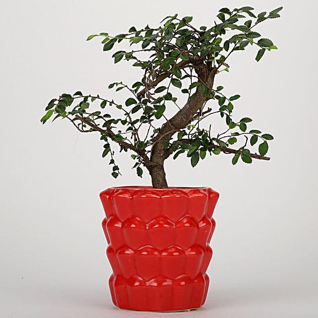 Ficus Ulmus Plant In Designer Red Ceramic Pot