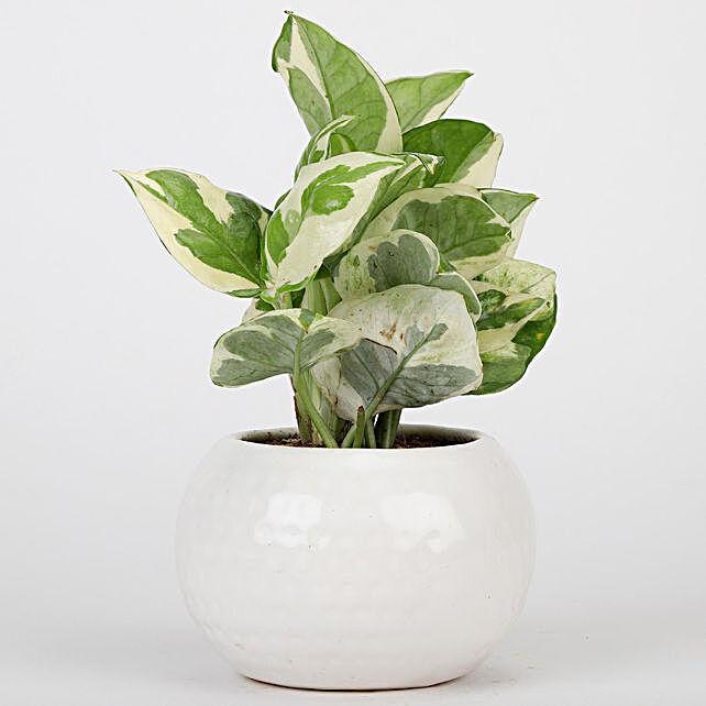 Pothos Plant In White Ceramic Designer Pot
