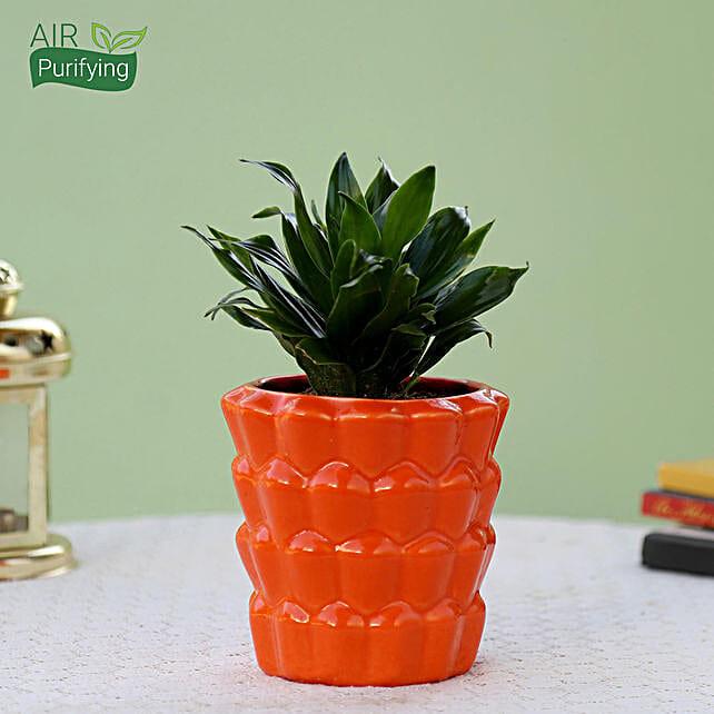 Dracaena Plant In Orange Ceramic Pot