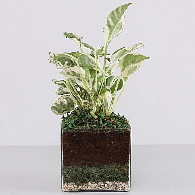 Scindapsus N Joy Plant 6 Glass Terrarium