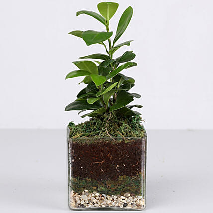 ficus plant in glass vase