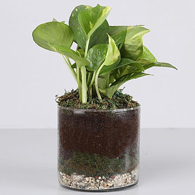 Scindapsus Gold Plant 4 Glass Terrarium