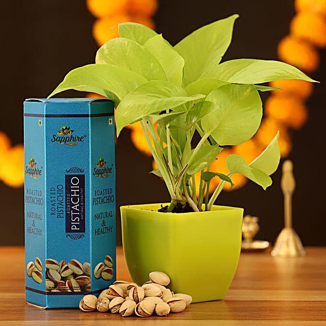 Golden Money Plant & Roasted Pistachio