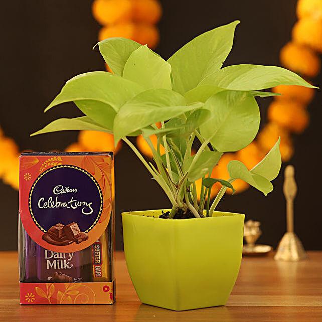 Golden Money Plant With Cadbury Celebrations