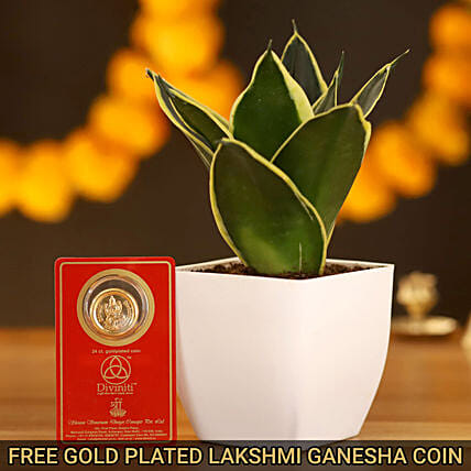 MILT Lotus Sansevieria & Free Gold Plated Coin Combo