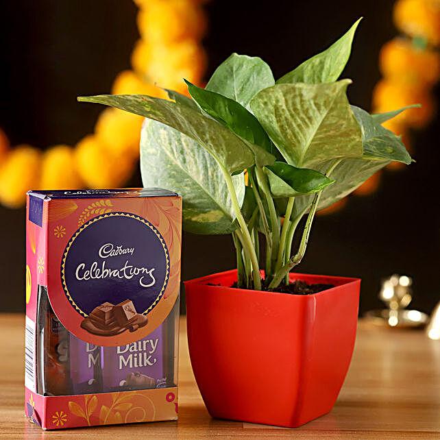 Money Plant With Cadbury Celebrations Combo