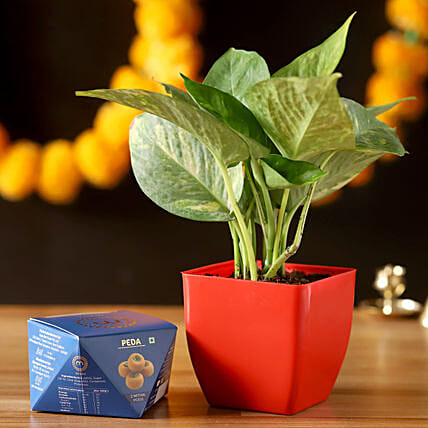 Money Plant With Peda Sweet