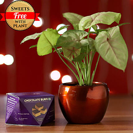 Online Syngonium Plant And Sweets:Send Plants n Sweets