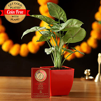 Syngonium Plant & Free Gold Plated Coin Combo