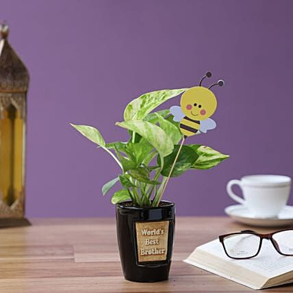 honey bee golden money plant in black pot