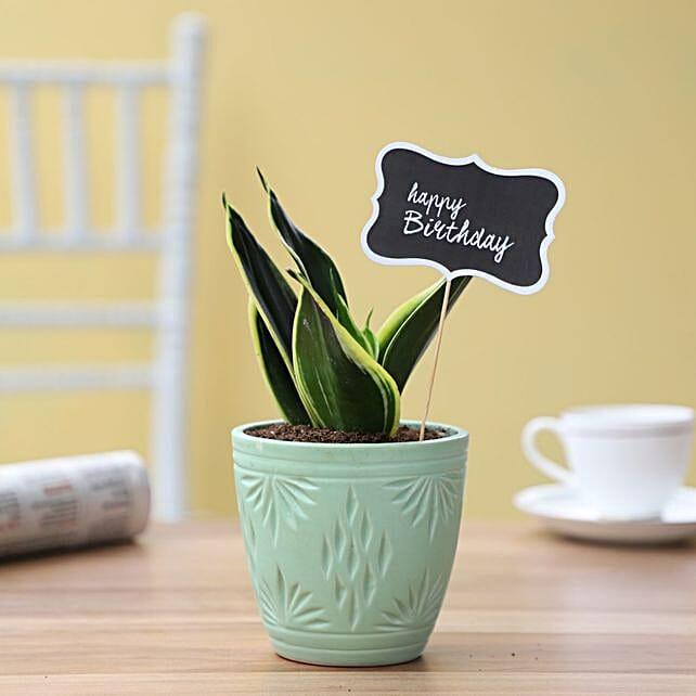 birthday milt sansevieria plant in turquoise pot