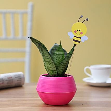 honey bee snakeskin sansevieria plant in pink pot