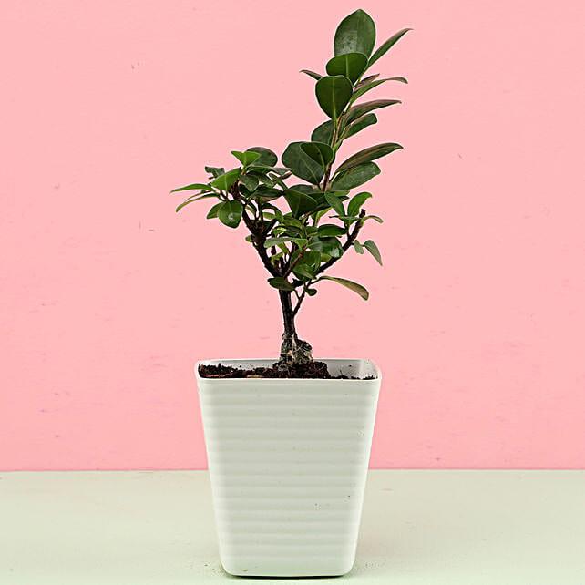Ficus Compacta In White Pot