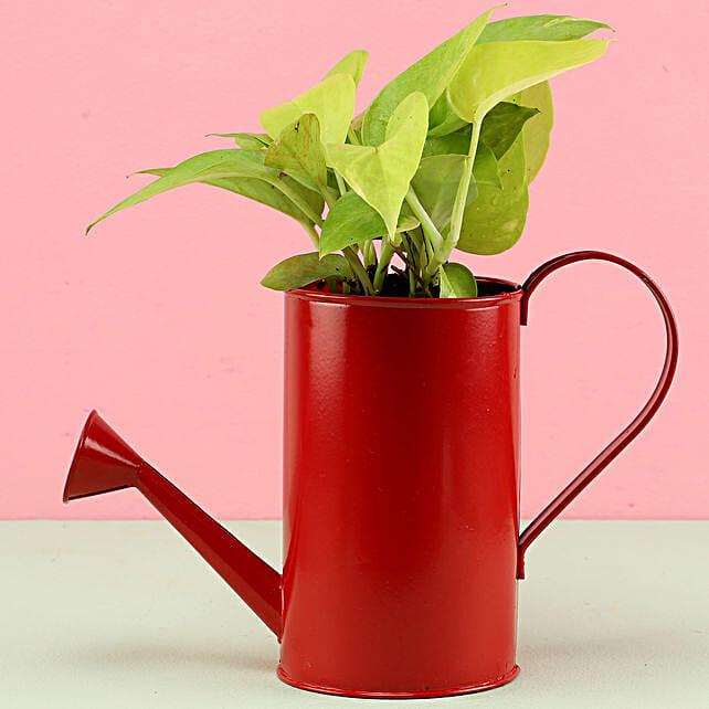 Golden Money Plant In Watering Can Pot