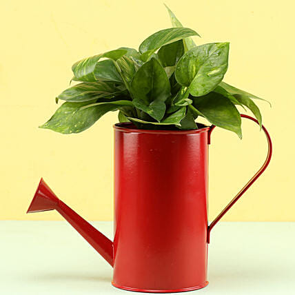 Money Plant In Watering Can Pot