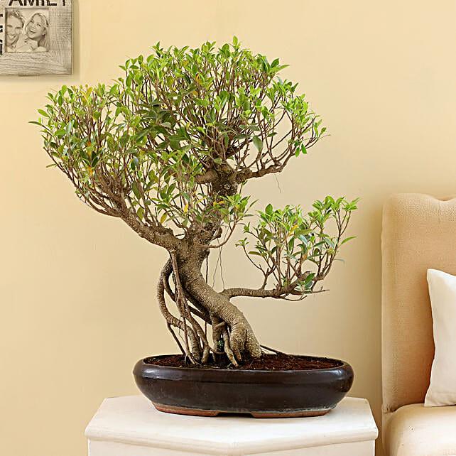 Online ficus nuda bonsai plant