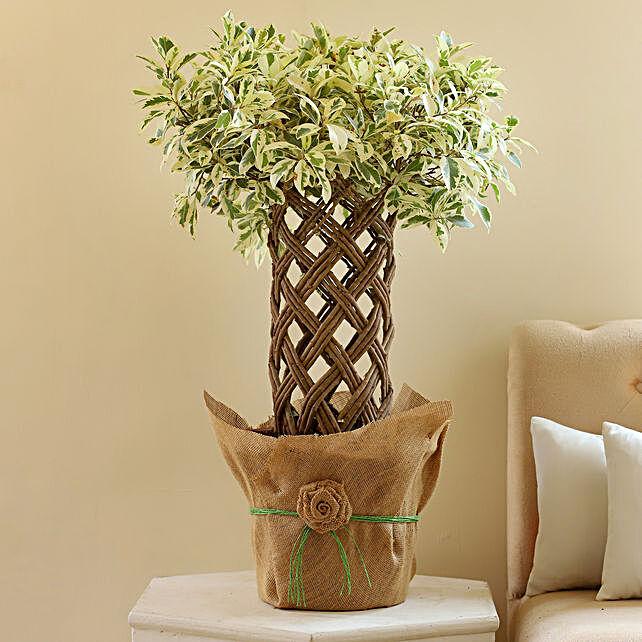 Ficus Crache Starlight Bonsai Plant