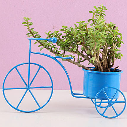 Jade Plant In Blue Metal Cycle Planter