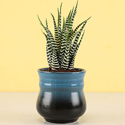 Haworthia Zebra Plant in Teal Blue Ombre Novelty Pot
