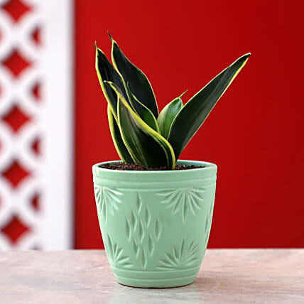 Online Sansevieria Plant In Green Plate Pot