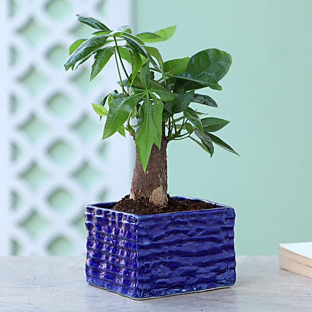 Pachira Bonsai In Brick Design Ceramic Pot