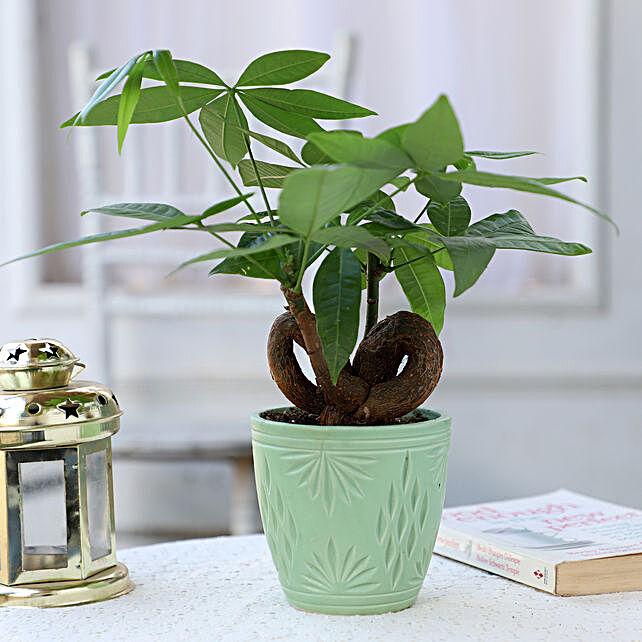 Pachira Infinity Knot In Designer Green Pot