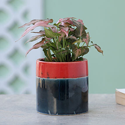 Pink Syngonium Plant In Pink Blue Pot