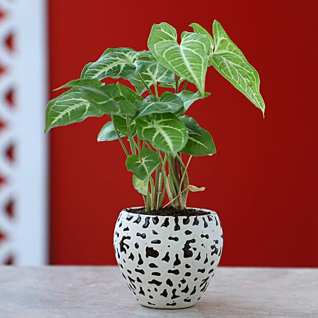 Syngonium Plant In Brown Ceramic Pot