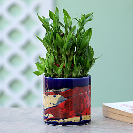 Online Bamboo Plant