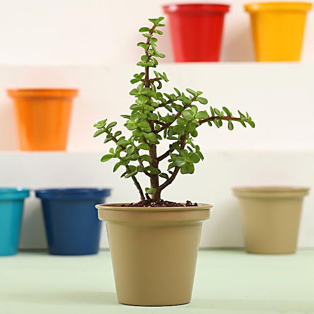 Jade Plant In Grey Metal Pot