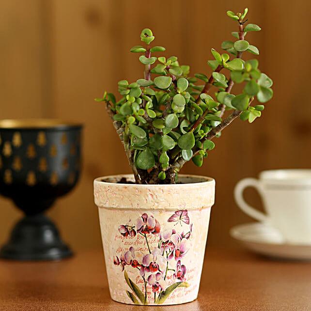 Jade Plant In Pink Ceramic Pot