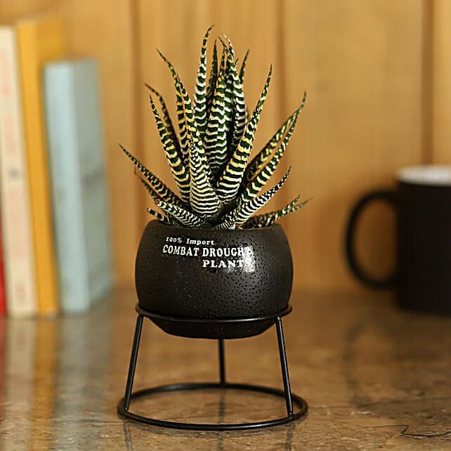 Pot of Haworthia Plant