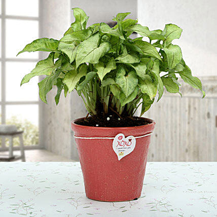 A syngonium golden plant in a red resin pot with a xoxo love tag